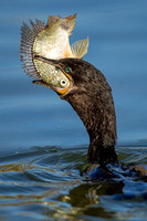 "2013, ""All Rights Reserved"", Bird, Canon, Cormorant, ""Crosswind Images"", ""EF 500mm f/4L IS"", Eating, Feeding, Fish, ""Gilbert Riparian Preserve"", January, ""Jay Beckman"", ""Natural World"", Nature, ""Natur"